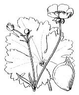 Photographie n°41.png du taxon