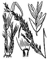 Photographie n°4128.png du taxon