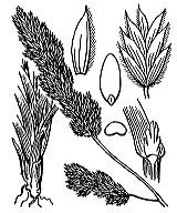 Photographie n°4144.png du taxon