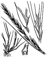 Photographie n°4151.png du taxon