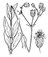 Photographie n°423.png du taxon