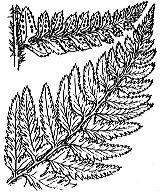Photographie n°4284.png du taxon