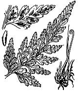 Photographie n°4299.png du taxon