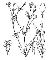 Photographie n°433.png du taxon