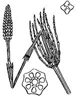 Photographie n°4348.png du taxon