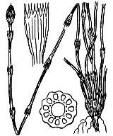 Photographie n°4353.png du taxon