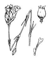 Photographie n°481.png du taxon