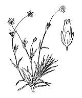 Photographie n°511.png du taxon