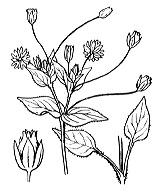 Photographie n°551.png du taxon