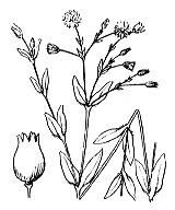 Photographie n°555.png du taxon