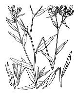 Photographie n°598.png du taxon
