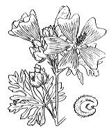 Photographie n°615.png du taxon