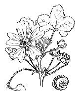 Photographie n°616.png du taxon