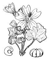 Photographie n°621.png du taxon
