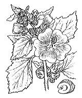 Photographie n°627.png du taxon