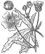 Photographie n°628.png du taxon