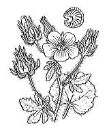 Photographie n°629.png du taxon