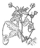 Photographie n°636.png du taxon