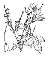 Photographie n°650.png du taxon