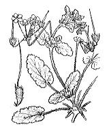 Photographie n°655.png du taxon
