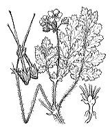 Photographie n°666.png du taxon