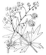 Photographie n°67.png du taxon
