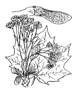 Photographie n°690.png du taxon
