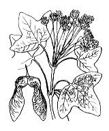 Photographie n°691.png du taxon