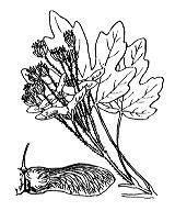 Photographie n°693.png du taxon