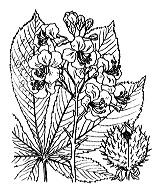 Photographie n°695.png du taxon