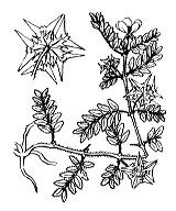 Photographie n°701.png du taxon
