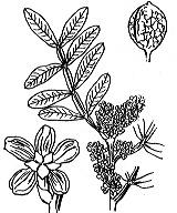Photographie n°722.png du taxon