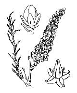 Photographie n°730.png du taxon
