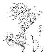 Photographie n°814.png du taxon