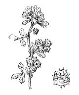 Photographie n°831.png du taxon