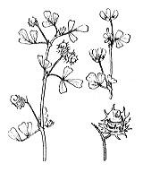 Photographie n°843.png du taxon