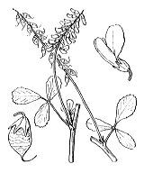 Photographie n°861.png du taxon
