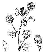 Photographie n°868.png du taxon