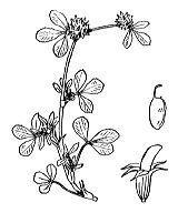 Photographie n°889.png du taxon