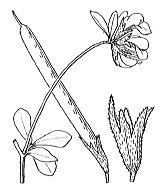 Photographie n°933.png du taxon