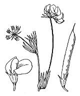 Photographie n°935.png du taxon