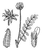 Photographie n°941.png du taxon