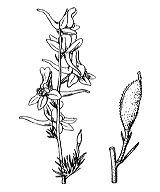 Photographie n°96.png du taxon