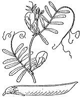 Photographie n°991.png du taxon