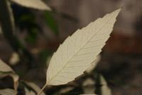Photographie n°jlt000902 du taxon