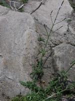 Photographie n°jlt001034 du taxon