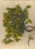 Photographie n°jlt001916 du taxon
