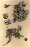 Photographie n°jlt003025 du taxon