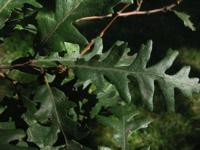 Photographie n°jlt004244 du taxon