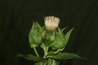 Photographie n°jlt004602 du taxon